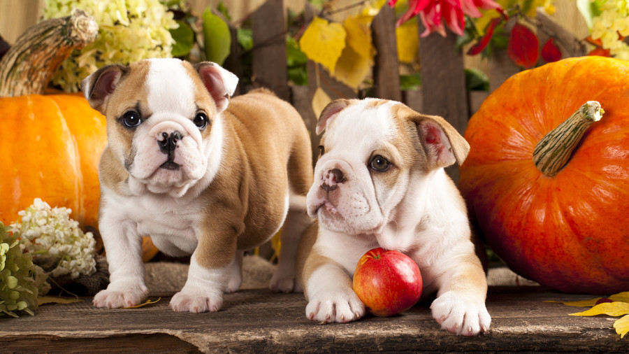 Bulldog puppies with apple and pumpkins