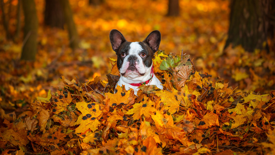 French Bulldog in fall leaves