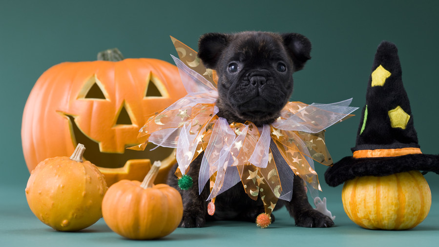 Puppy Ready for Halloween