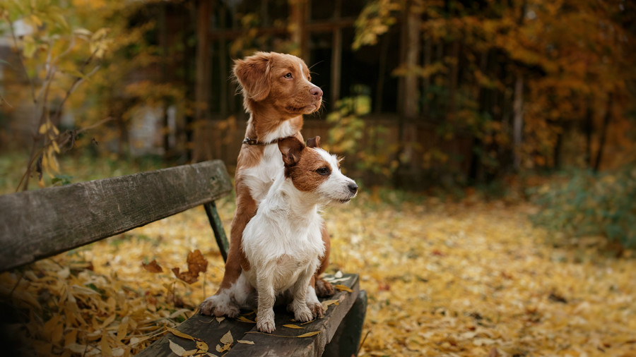 Two puppies on bench with fall leaves