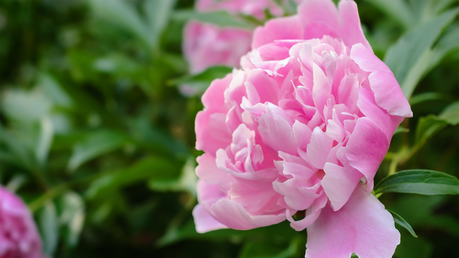 Growing peonies requires patience