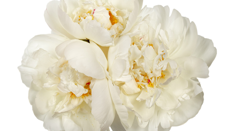 Peonies initially were grown for medicinal purposes