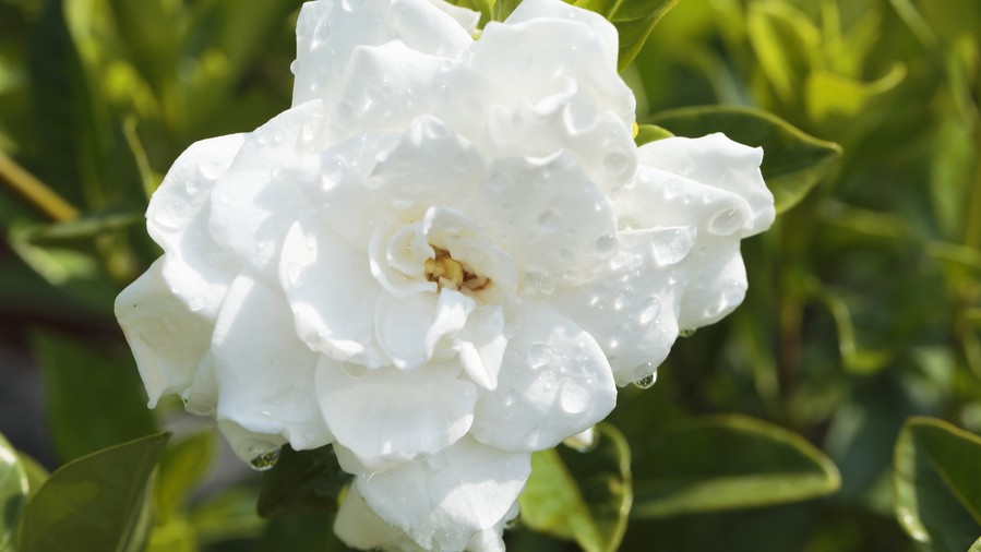 The souths best fragrant plants for your garden southern living gardenia mightylinksfo