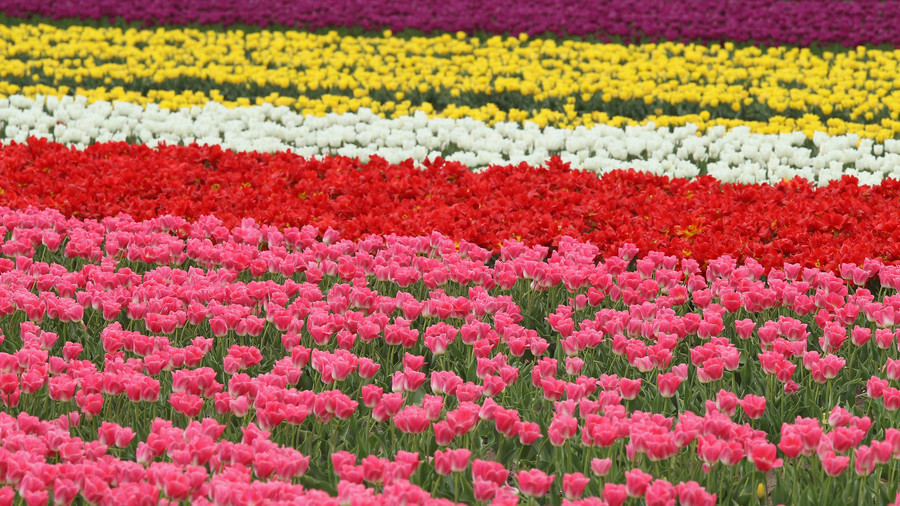 There are 150 species of tulips on record and over 3,000 varieties.
