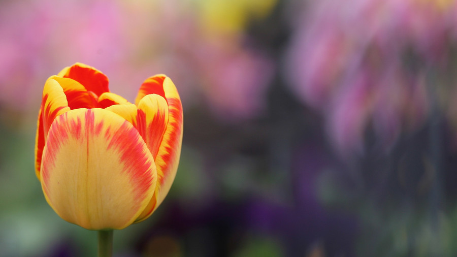 Some tulip varieties are actually illegal in parts of the world.