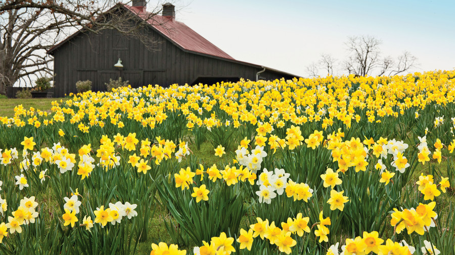 The souths most iconic flowers southern living field of daffodils near barn mightylinksfo
