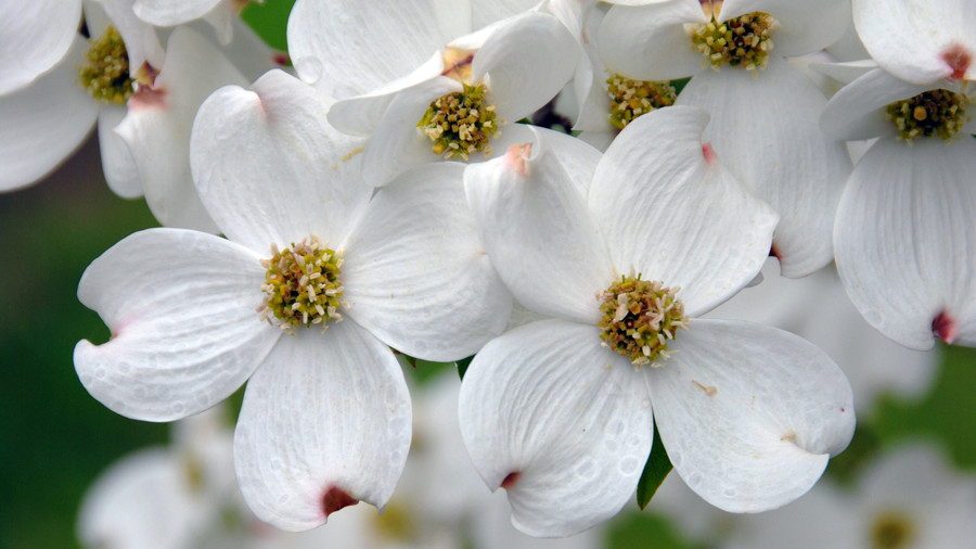 The souths most iconic flowers southern living white dogwood flowers mightylinksfo Images
