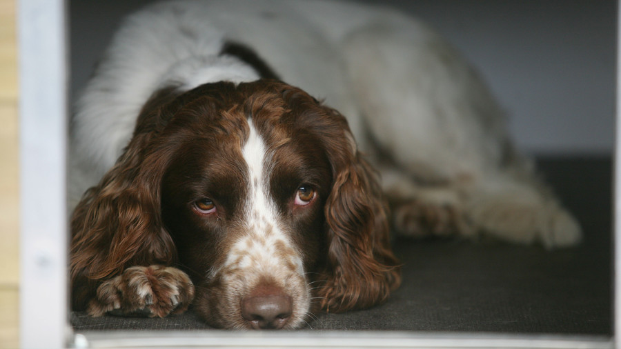 Springer Spaniel Laying Down