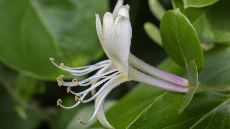 The souths best fragrant plants for your garden southern living winter honeysuckle mightylinksfo