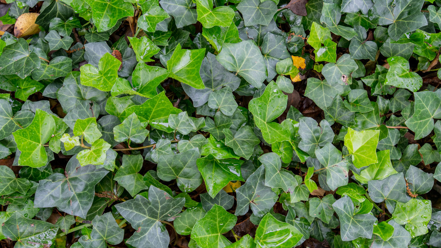 RX_1703_Ground Cover_English Ivy