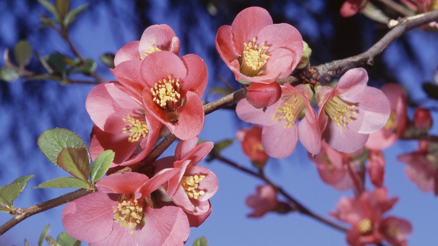 Fragrant Flowering Quince