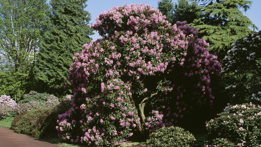 Pink Blossoms Against Evergreens