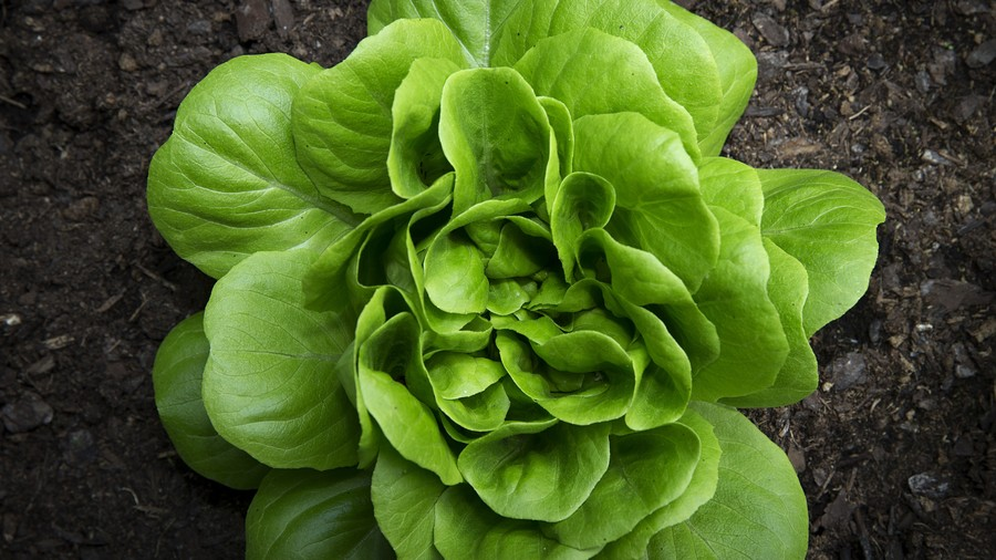 Head of Lettuce in the Ground