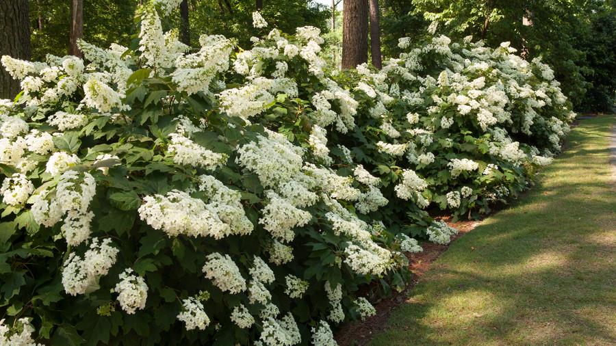 Hydrangea Care Pruning Amp Blooming Tips Southern Living