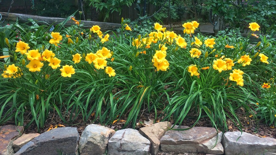 Daylily Garden Bed