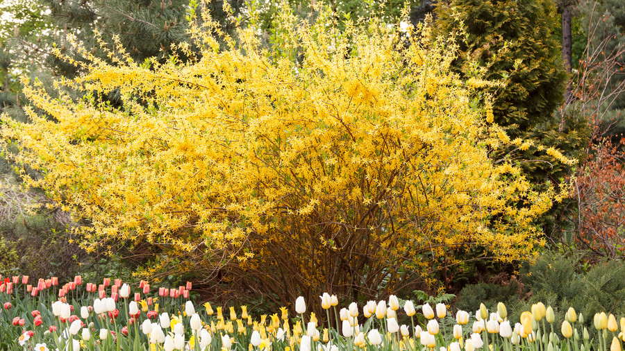 Flowering southern trees you need to plant now southern living forsythia mightylinksfo