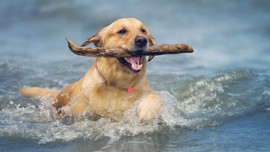 Golden Retriever at Beach with Stick