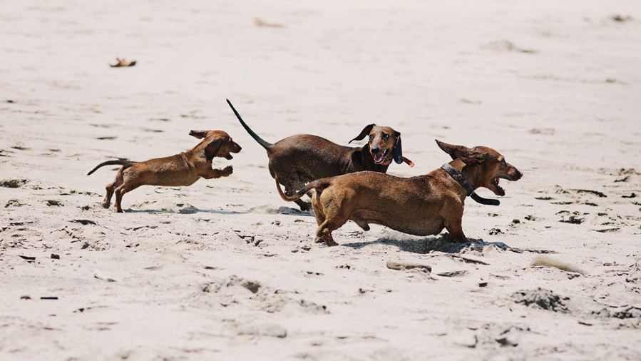 Three Dachshunds on beach
