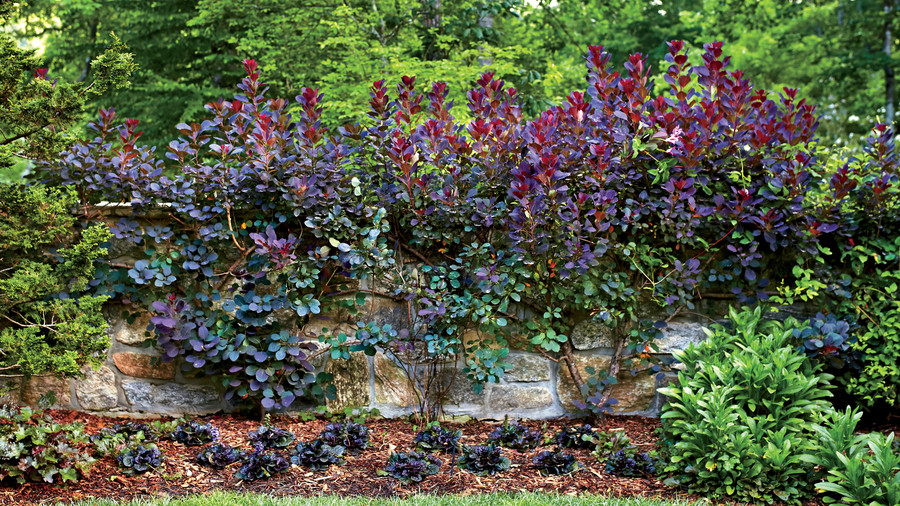Princess Diana Scarlet Clematis Smoke Tree Espalier in Reeves Highlands, NC Garden