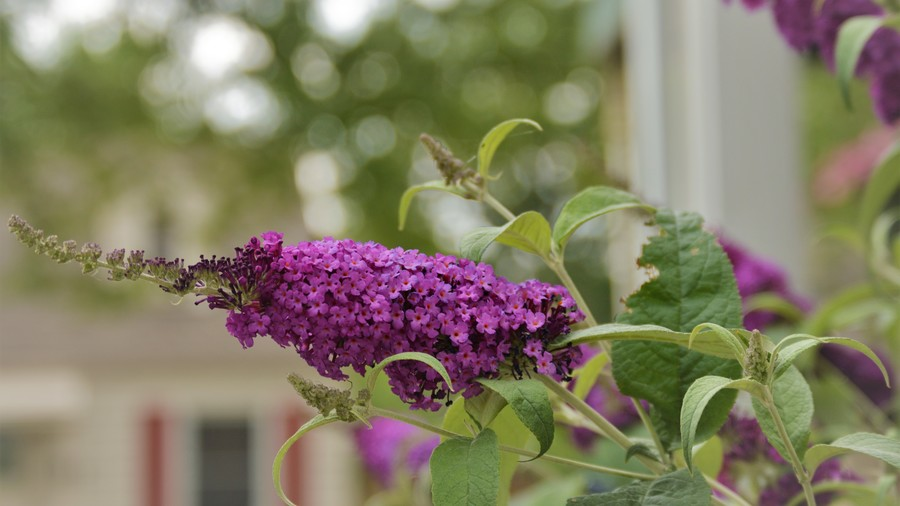 RX_1808_Hummingbirds_Butterfly Bush