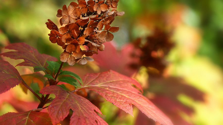 RX_1811_Fall Color Winners from Grumpy's Garden_'Ruby Slippers' Oakleaf Hydrangea
