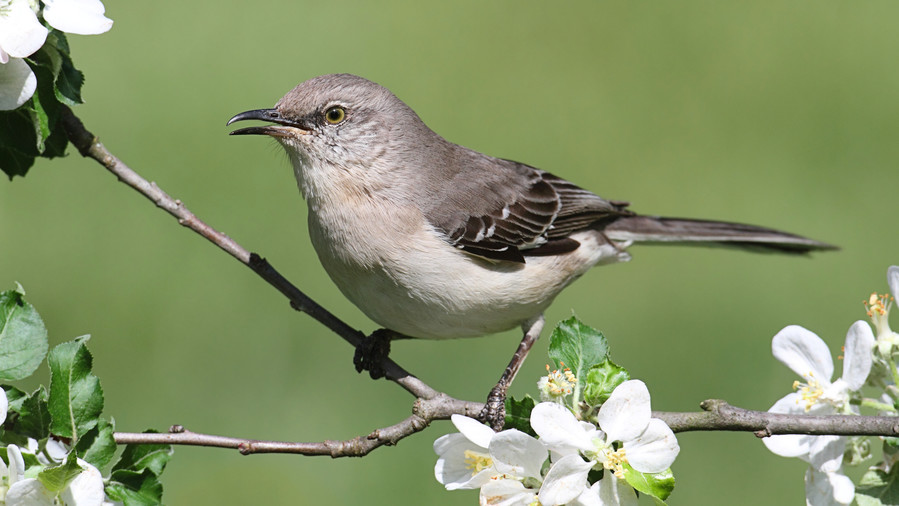 Florida- Northern Mockingbird