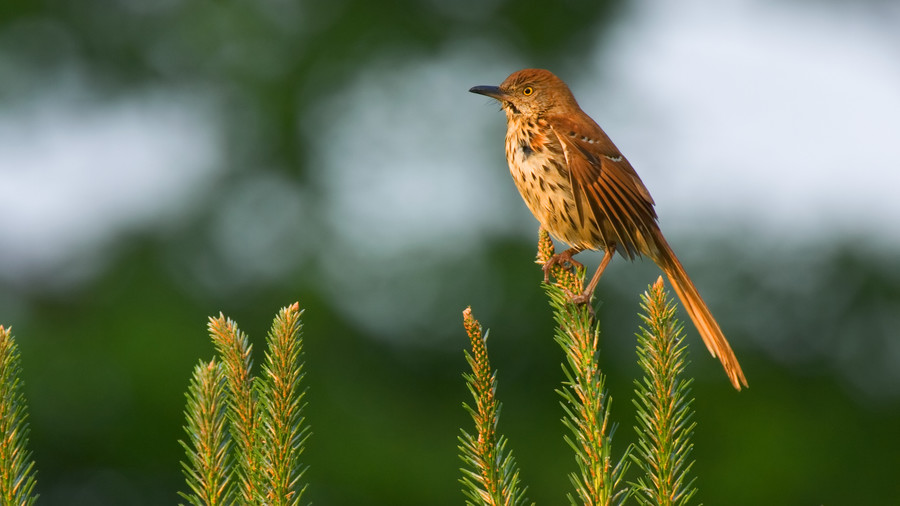 Georgia- Brown Thrasher