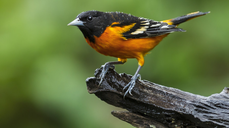 Maryland- Baltimore Oriole