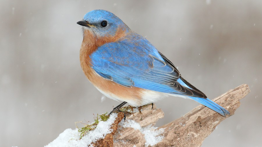 Missouri- Eastern Bluebird