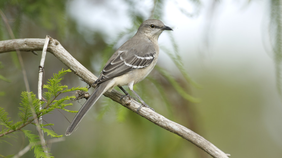 Tennessee- Northern Mockingbird