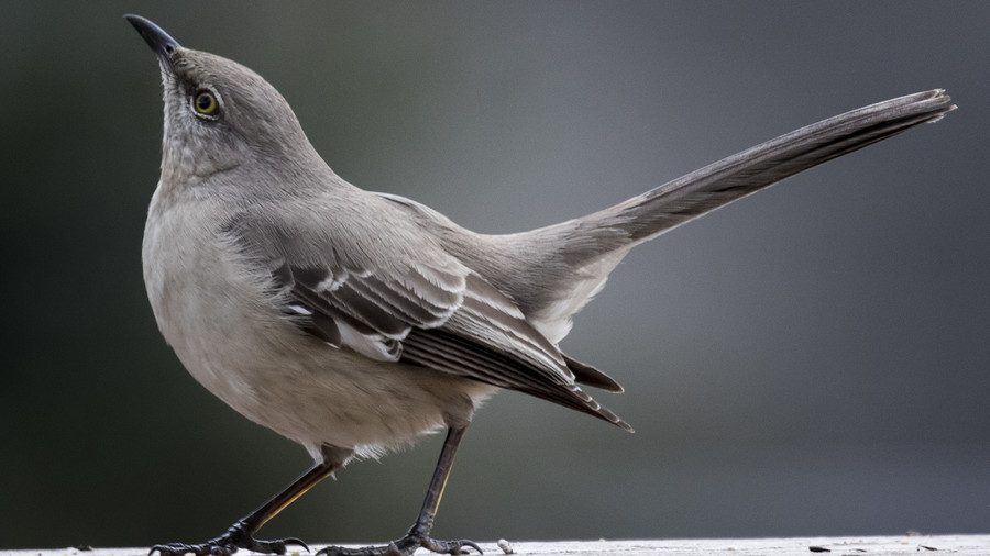 Texas- Northern Mockingbird