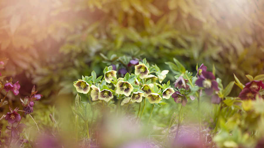 Simple Tips for Growing Hellebores
