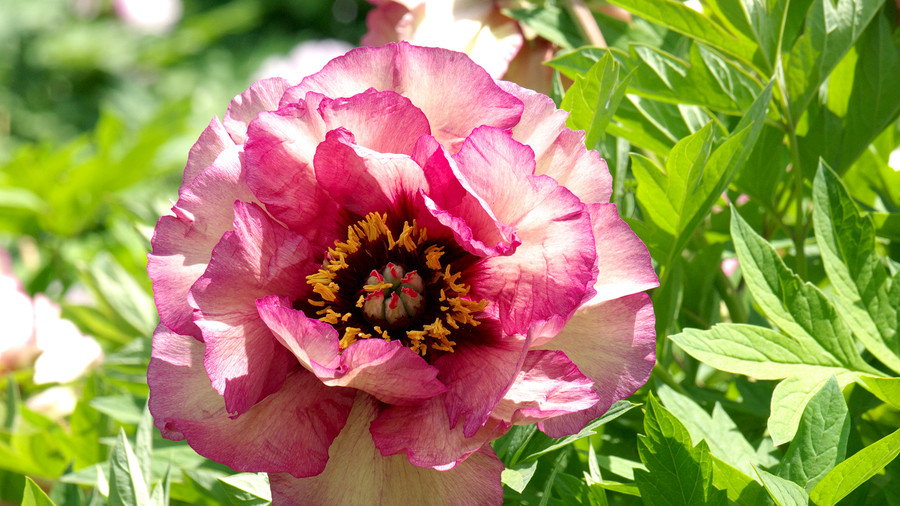 RX_1904_Yellow and Pink Peonies_Peony Colors