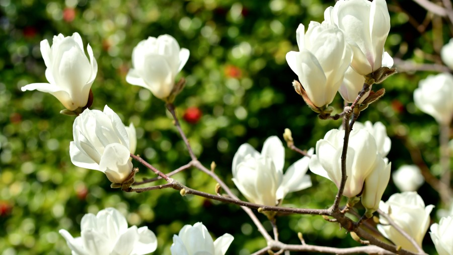 How To Identify 11 Types of Magnolia Flowers