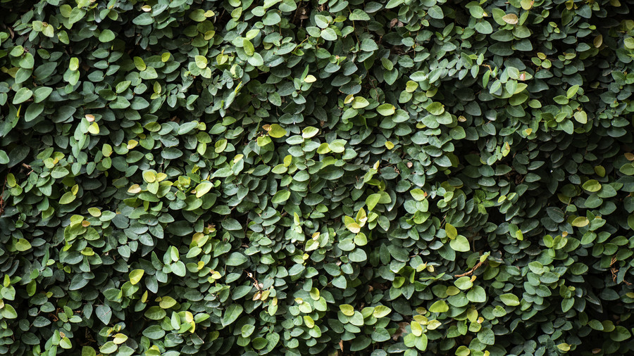 Creeping Fig