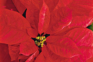 The Secret to Using Cut Poinsettias