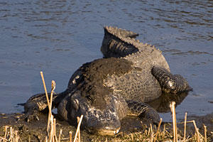 Florida Everglades: Where to See Alligators