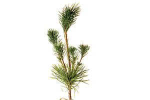 Christmas Gift Ideas: Japanese Black Pine Trees