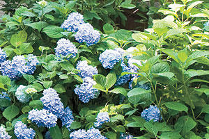 French Hydrangea: More About Hydrangeas