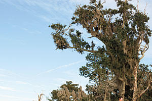 Secluded Southern Beach Vacations: Driftwood Beach/Jekyll Island