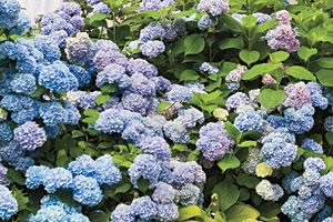 French Hydrangea: A Perfect Pairing