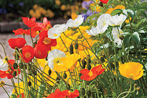 Iceland Poppies