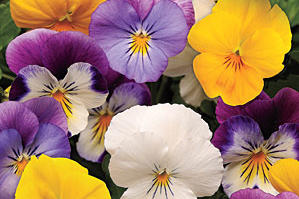 Plentifall Pansies