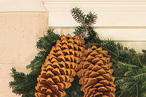 Ample Pinecones