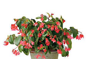 'Dragon Wing Red' Angel Wing Begonia