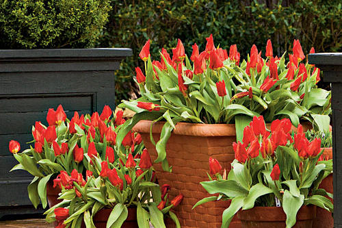 Planting Bulbs in Containers