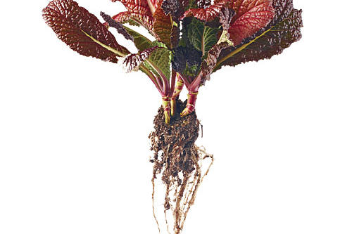 'Red Giant' Mustard
