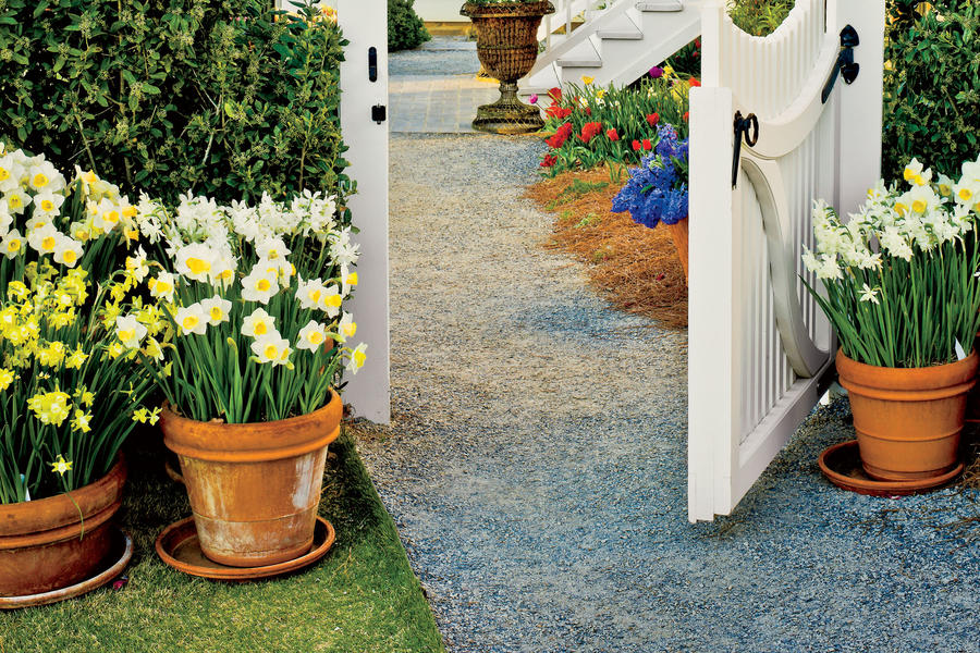 Grow Daffodils in Containers