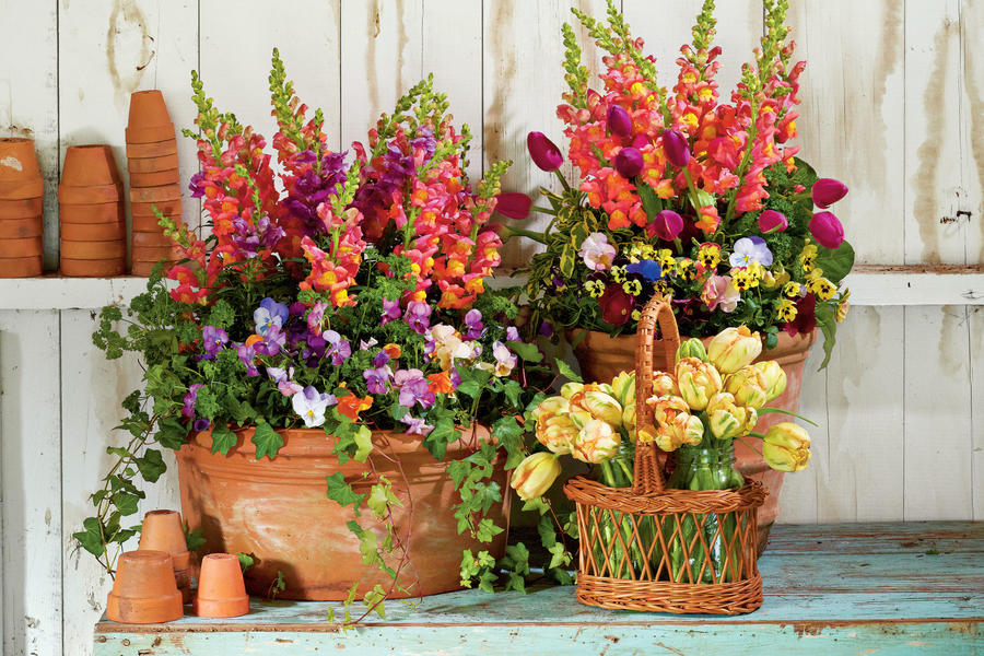 Snapdragons, Penny Violas, Tulips, Parsley and Ivy