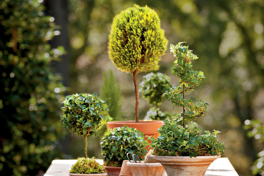Potted English Ivy Topiaries